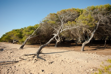 windswept: Windswept pine tree forest on sandy ground