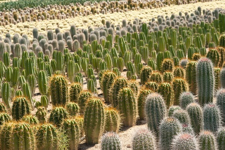 Farm producing cacti for decorative gardening and landscaping