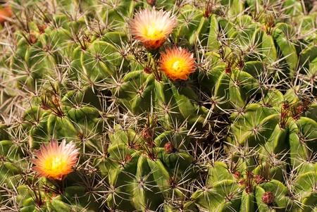 cactus species: Detalle de fina especie solar caliente Foto de archivo