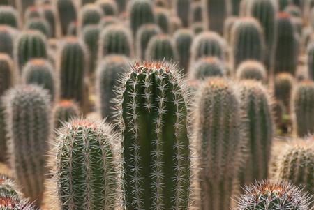 cactus species: Granja de producir una gran cantidad de especies de cactus diferentes Foto de archivo