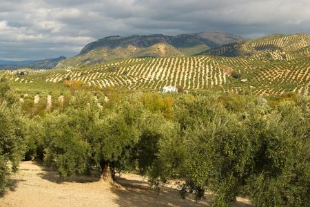 Piantagione di oliva in ampio paesaggio solitario andaluso