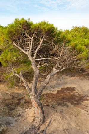 windswept: Windswept Mediterranean pine tree forest, the forces of nature Stock Photo