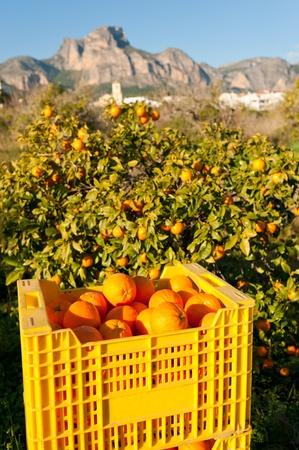 paisaje mediterraneo: Cosecha de naranja en medio de un paisaje mediterr�neo soleado