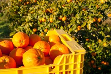 Crate full of freshly picked oranges, harvest season Imagens