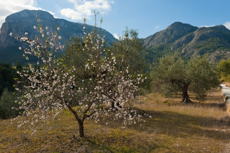 Olive and almond trees mixed, Mediterranean agriculture photo