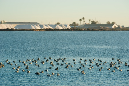 salt marsh: Water birds swimming in front of a salt refinery