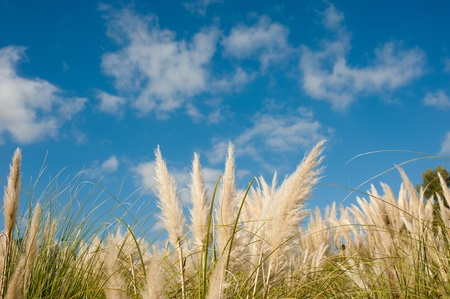 pampas: Fluffy pampas grass feathers against blue sky