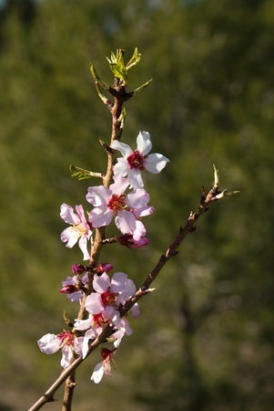 almond bud: Flowering almond tree branch signalling the approach of spring