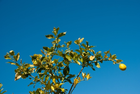 surviving: Damaged lemon tree with hardly any surviving fruit after a hefty frost Stock Photo