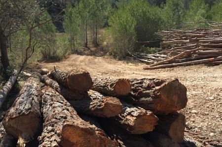 felled: Piles of felled pine tree trunks