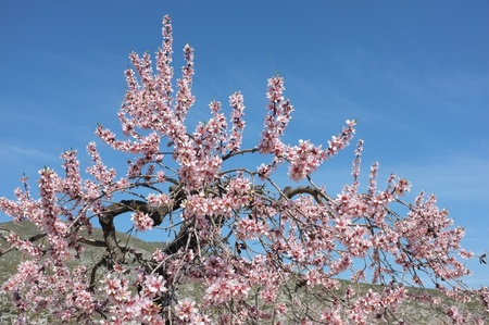 outpost: Flowering almond tree, an outpost of spring Stock Photo