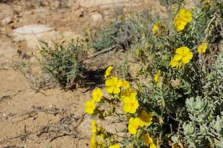 Sandy soil: Flowerign Primerose arbustos en suelos arenosos