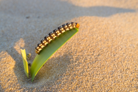 nibbling: Colorful caterpillar nibbling on a desert plant