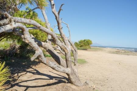 windswept: Windswept pine tree on a sunny Mediterranean beach