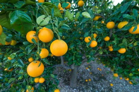 orange tree: Wide angle take of a branch loaded with ripe oranges against the background of the tree