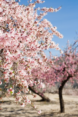 Almond plantation in full blossom photo