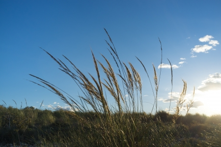cane plumes: Esparto reeds backlit by the rising sun