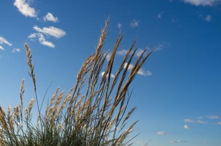 cane plumes: Esparto grass against a sunny blue sky