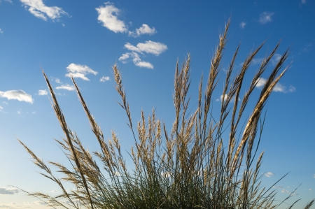 cane plumes: Low angle take of some esparto grass reeds