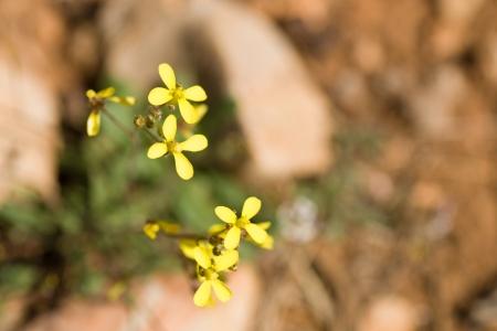 Sandy soil: Malezas Sahara mostaza en flor en suelo arenoso