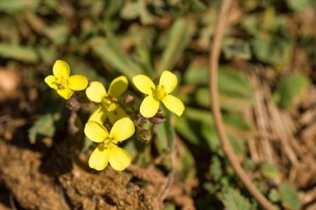 suelo arenoso: Floraci�n mostaza africana, la planta se sienta en suelo arenoso