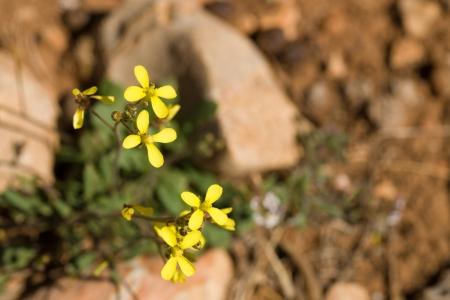 sandy soil: Sahara erbacce senape fioritura su terreno sabbioso Archivio Fotografico