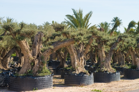 Olive tree farm with very old trees  on sale for gardening purposes photo