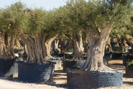 Old olive trees with  twisted trunks on sale for gardening photo