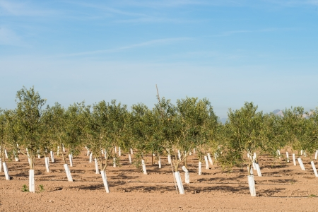 hondo: Tree nursery with rows of young olive trees Stock Photo