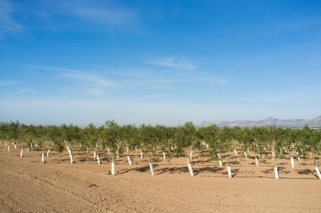hondo: Olive tree arboretum with many young specimens growing in rows