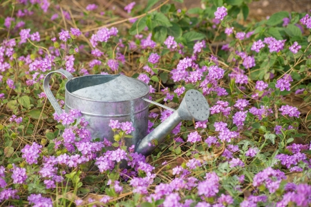 Colorful mauve flower bed in spring with watering can photo
