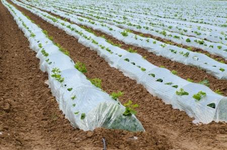 paillis: Le paillis de plastique prot�geant encore de petits plants de l�gumes