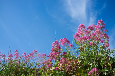 valerian plant: Red valerian shrub in full blossom against sunny sky