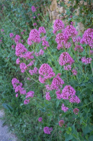 valerian: Red valerian bush  in full blossom