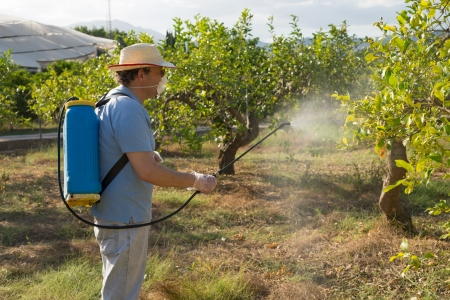 Lemon plantation being sprayed with pesticide by worker