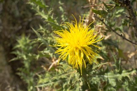 centaurea: Yellow thistle flower of the centaurea family