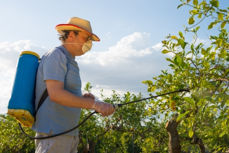 crop sprayer: Agricultural worker in a citrus plantation spraying pesticide