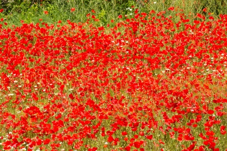 Full frame take of a field ful of poppies photo