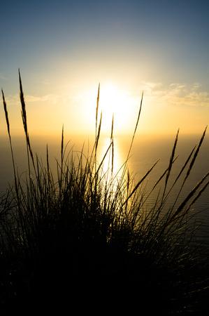 cane plumes: A shrub of esparto reeds against a beautiful sunrise background
