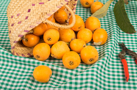 pruning scissors: A still life with freshly picked loquats and pruning scissors