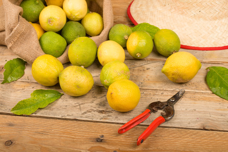 pruning shears: Lemons with pruning shears on a rustic table Stock Photo