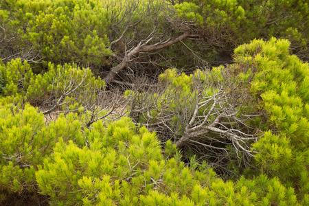 windswept: Full frame take of windswept Mediterranean pine trees Stock Photo