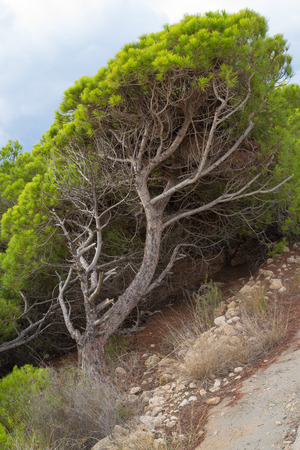 windswept: A  windswept Mediterreanean pine tree with its tilted trunk Stock Photo