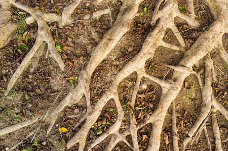 aerial roots: Intrincate aerial roots of a huge tree