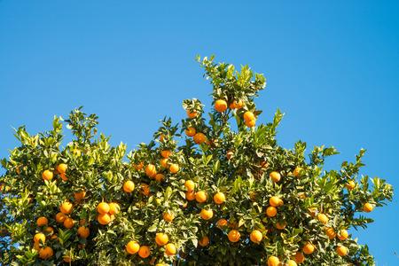 naranja arbol: Naranjo cargado con frutas maduras contra un cielo azul