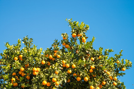 Oranje boom geladen met rijp fruit tegen een blauwe hemel