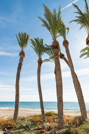 fronds: Palm trees on a beach with pruned fronds  around Stock Photo