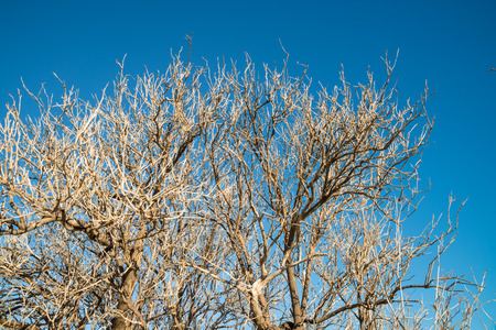 citrus tree: Aftermath of severe frost on a citrus tree Stock Photo