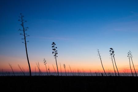 century plant: Backlit agaves at dusk in Cabo de Gata natural park, Spain
