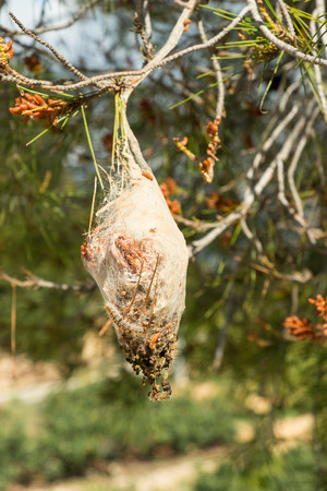 maggot: Large processionary maggot nest on a pine tree